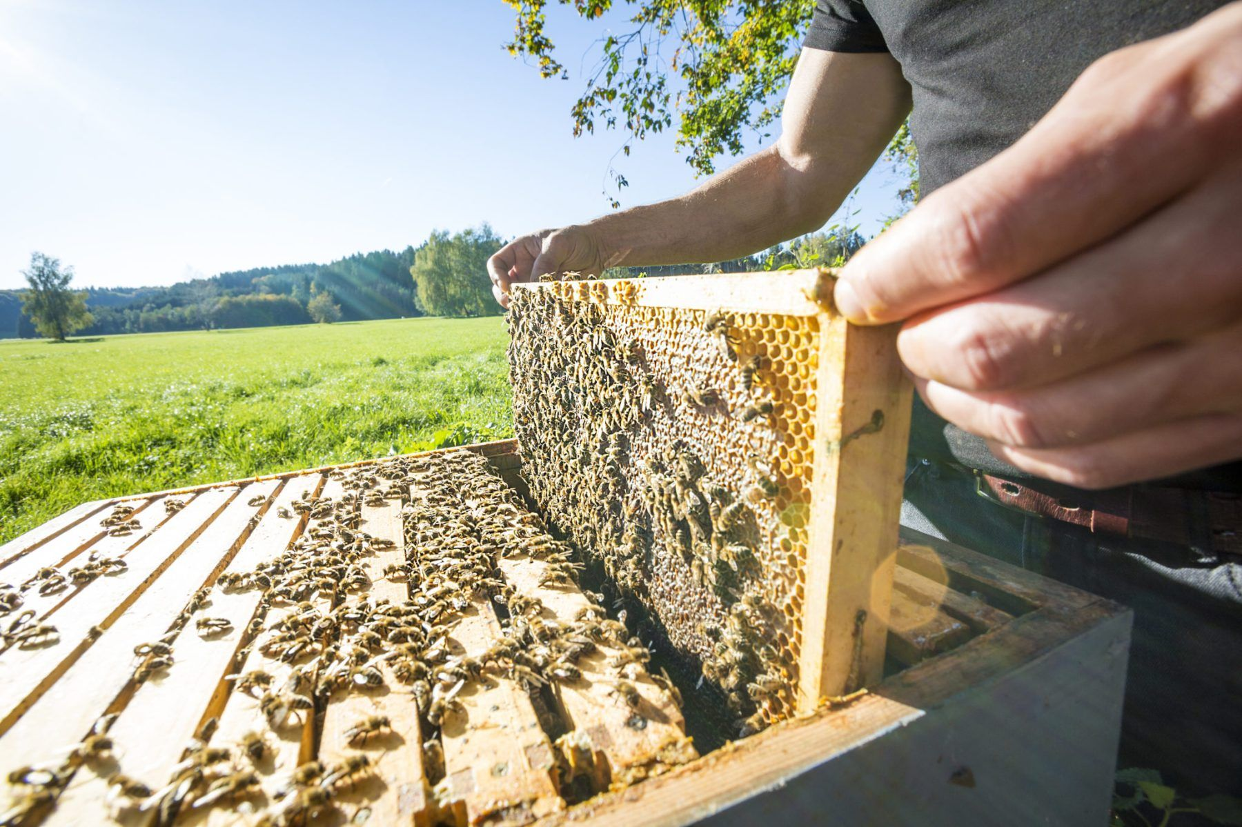 Global honey production cannot keep up with increasing demands.