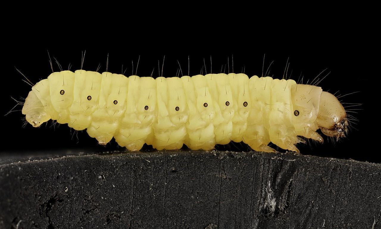 Even in strong colonies, you can find the occasional wax moth, however they are only a threat for weak colonies.